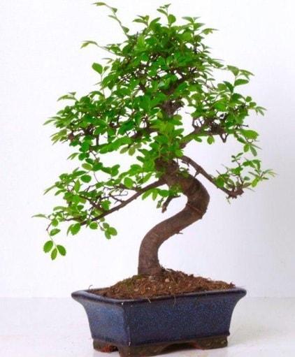 S gövdeli bonsai minyatür ağaç japon ağacı  Elazığ anneler günü çiçek yolla