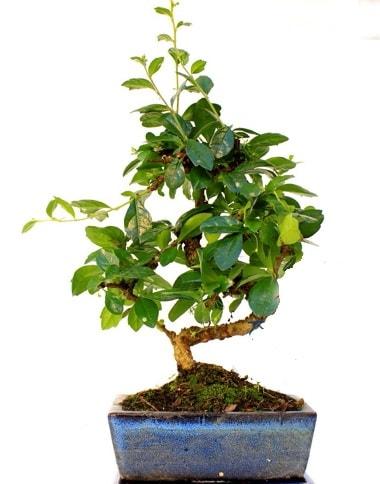 S gövdeli carmina bonsai ağacı  Elazığ hediye sevgilime hediye çiçek  Minyatür ağaç