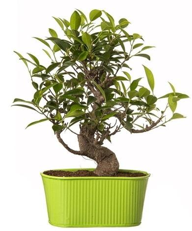Ficus S gövdeli muhteşem bonsai  Elazığ çiçek yolla , çiçek gönder , çiçekçi