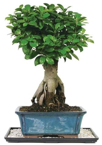 Bonsai Ginsing Grafted Ficus Bonsai  Elazığ hediye sevgilime hediye çiçek