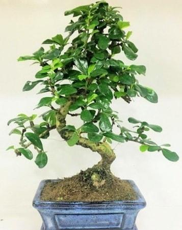 Zelkova S gövdeli Minyatür ağaç Bonzai  Elazığ çiçek online çiçek siparişi