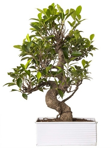Exotic Green S Gövde 6 Year Ficus Bonsai  Elazığ anneler günü çiçek yolla