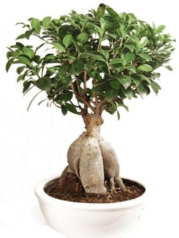 Ginseng bonsai japon ağacı ficus ginseng  Elazığ 14 şubat sevgililer günü çiçek
